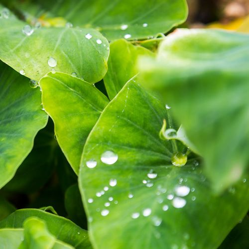wet kalo leaves