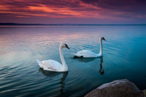 Swans on Lake Balaton