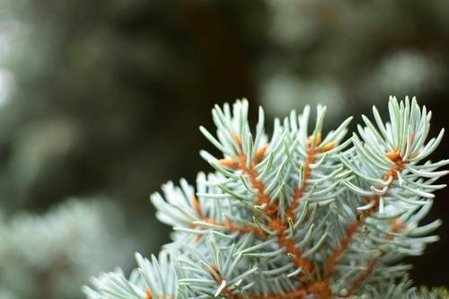 close up of blue spruce, needles and seeds on sunny day