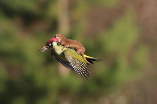 Weasel Riding A Bird