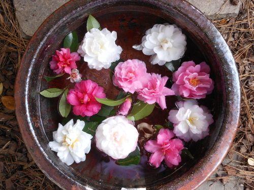 camellia japonica sasanqua